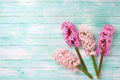 Pink hyacinths flowers  on  turquoise painted wooden background Stock Photos