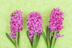 Pink hyacinths on green background Royalty Free Stock Image