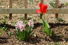 Pink Hyacinths or Hyacinthus flowering plant full of small fully open blooming flowers growing next to bright red tulip flower in. Pink Hyacinths or Hyacinthus royalty free stock images