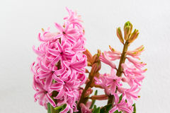 Pink hyacinths Stock Images