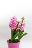 Pink hyacinths Stock Photography