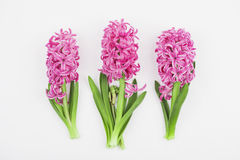 Pink hyacinths on white background Stock Image
