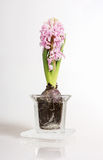 Pink Hyacinthus Royalty Free Stock Images