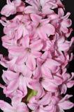 Pink Hyacinthus orientalis Stock Image