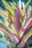 Pink hybrid aechmea fasciata or bromeliad pineapple with sunshin Stock Image