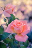 Pink hybrid rose, vintage filter effect Royalty Free Stock Photography