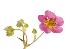 Pink Hybrid strawberry blossom isolated Stock Image