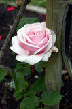 Pink hybrid tea rose in the garden. With fence post Royalty Free Stock Images