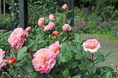 Pink hybrid tea rose Royalty Free Stock Photos