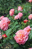 Pink hybrid tea roses Stock Photography
