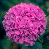 Pink Hydrangea head in full bloom stock photography