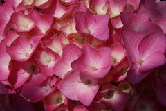 Pink Hydrangea Stock Images