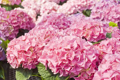 Pink Hydrangea Stock Photography
