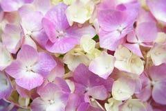 Pink hydrangea Royalty Free Stock Image