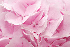 Pink hydrangea Royalty Free Stock Photo