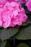 Pink hydrangea. And leaves Royalty Free Stock Photography