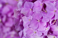 Pink hydrangea as background Royalty Free Stock Image
