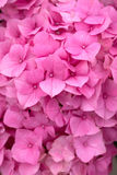 Pink hydrangea, background Royalty Free Stock Photography