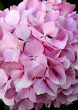 Pink hydrangea background. Delicate background with a pink hydrangea. It can be used as a background for a mobile phone screen. Photography suitable for botany royalty free stock image