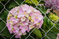 Pink Hydrangea Behind Fence Stock Image