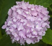 Pink Hydrangea. Bloom royalty free stock images