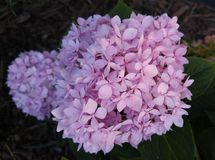 Pink hydrangea bloom Stock Photo