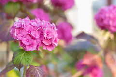 Pink Hydrangea Blooming in the Spring Royalty Free Stock Photo