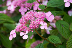 Pink hydrangea blooms Royalty Free Stock Photos