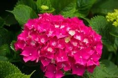 Pink hydrangea blooms. In the garden stock photos