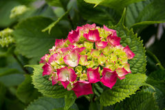 Pink hydrangea blooms. In the garden royalty free stock photography