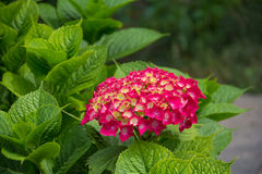 Pink hydrangea blooms Stock Image