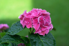 Pink hydrangea blossom. S with other blured blossoms in the green backgound Royalty Free Stock Photos
