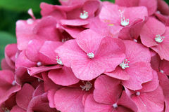 Pink Hydrangea Blossom Stock Images