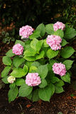 Pink hydrangea blossoms on a background of green foliage bush. Royalty Free Stock Photography