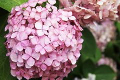 Pink hydrangea with a blue heart: delicate petals in green leaves, bud consists of small inflorescences. royalty free stock image
