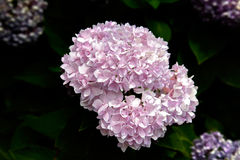Pink hydrangea Royalty Free Stock Photography