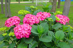Pink hydrangea bush Royalty Free Stock Photography