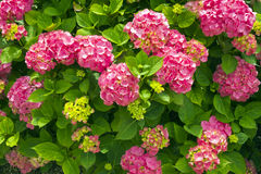 Pink hydrangea bush flowers Royalty Free Stock Photo
