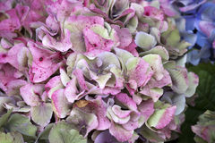 The Pink hydrangea close-up as a garden decoration. a bouquet for the bride Stock Images