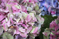 The Pink hydrangea close-up as a garden decoration. a bouquet for the bride Royalty Free Stock Photos
