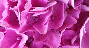 Pink Hydrangea close up background royalty free stock photography