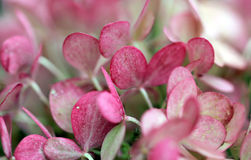 Pink hydrangea Stock Images