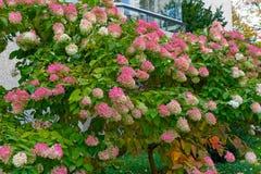 Pink hydrangea Stock Photos