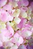 Pink hydrangea Royalty Free Stock Photography