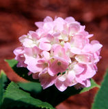 Pink Hydrangea flower. Beautiful pink hydrangea flower in springtime Royalty Free Stock Photo