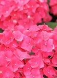 Pink hydrangea flower Stock Photo