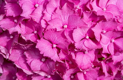 Pink Hydrangea Flower Royalty Free Stock Photos