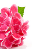 Pink hydrangea flower in closeup Royalty Free Stock Images