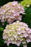 Pink hydrangea flower closeup Royalty Free Stock Photos