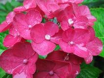Pink hydrangea flower. In drops of rain Stock Image